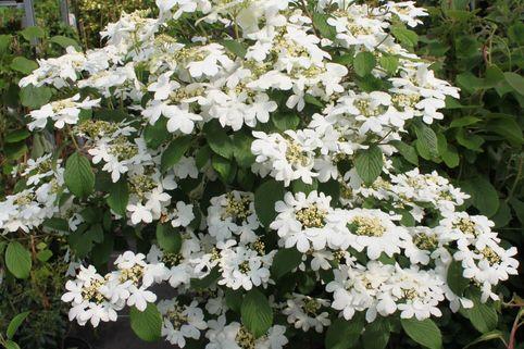 Japanischer Zwerg-Schneeball 'Watanabe' - Viburnum plicatum 'Watanabe'