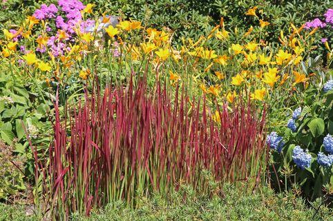 Japanisches Blutgras 'Red Baron' - Imperata cylindrica var. koenigii 'Red Baron'