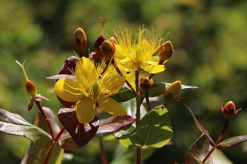 Johanniskraut 'Loke' - Hypericum hircinum 'Loke'