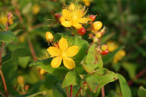 Johanniskraut  / Mannsblut 'Excellent Flair' - Hypericum androsaemum 'Excellent Flair'