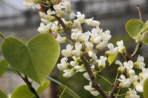 Judasbaum 'Texas White' - Cercis reniformis 'Texas White'