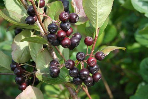 Kahle Apfelbeere / Schwarze Apfelbeere - Aronia melanocarpa