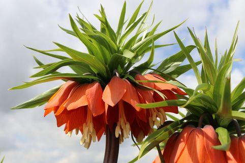 Kaiserkrone 'Rubra Maxima' - Fritillaria imperialis 'Rubra Maxima'