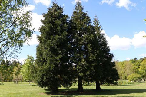 Kalifornischer Berg-Mammutbaum - Sequoiadendron giganteum