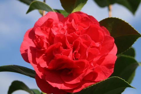 Kamelie 'Kramer's Supreme' - Camellia japonica 'Kramer's Supreme'