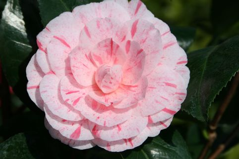 Kamelie 'William Barlett' - Camellia japonica 'William Barlett'