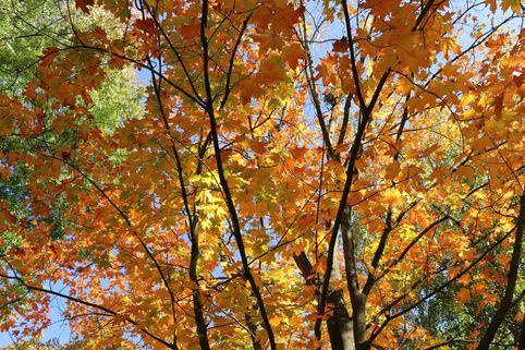Kanadischer Ahorn - Acer saccharum