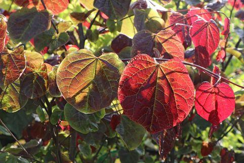 Kanadischer Judasbaum 'Forest Pansy' - Cercis canadensis 'Forest Pansy'