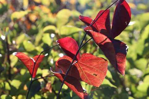 Kanadischer Judasbaum 'Red Force' ® - Cercis canadensis 'Red Force' ®