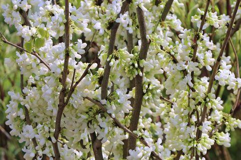 Kanadischer Judasbaum 'Royal White' - Cercis canadensis 'Royal White'