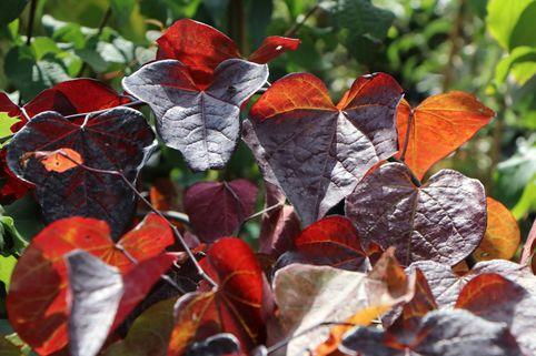 Kanadischer Judasbaum 'Ruby Falls' - Cercis canadensis 'Ruby Falls'