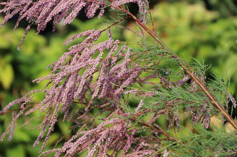 Kaspische Tamariske 'Pink Cascade' - Tamarix ramosissima 'Pink Cascade'