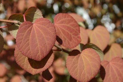 Japanischer Kuchenbaum / Katsurabaum / Lebkuchenbaum - Cercidiphyllum japonicum