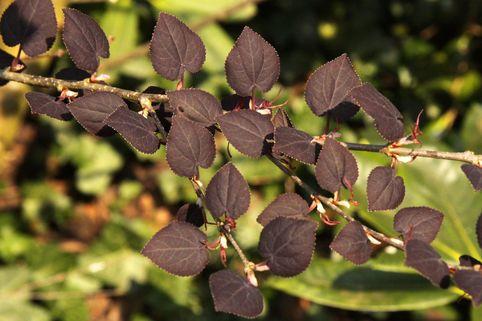 Katsurabaum 'Rotfuchs' / Lebkuchenbaum - Cercidiphyllum japonicum 'Rotfuchs'