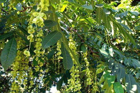 Kaukasische Flügelnuss - Pterocarya fraxinifolia