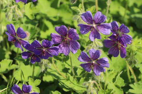 Kaukasus Storchschnabel  'Philippe Vapelle' - Geranium renardii 'Philippe Vapelle'