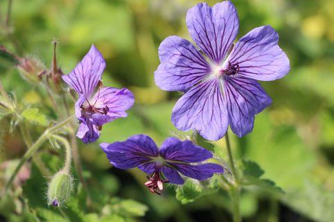 Kaukasus-Storchschnabel 'Terre Franche' - Geranium renardii 'Terre Franche'