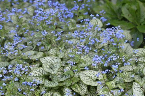 Kaukasus-Vergissmeinnicht 'Jack Frost' ® - Brunnera macrophylla 'Jack Frost' ®