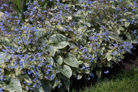 Kaukasus-Vergissmeinnicht 'King's Ransom' - Brunnera macrophylla 'King's Ransom'