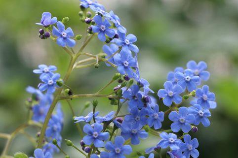 Kaukasus-Vergissmeinnicht 'Langtrees' - Brunnera macrophylla 'Langtrees'