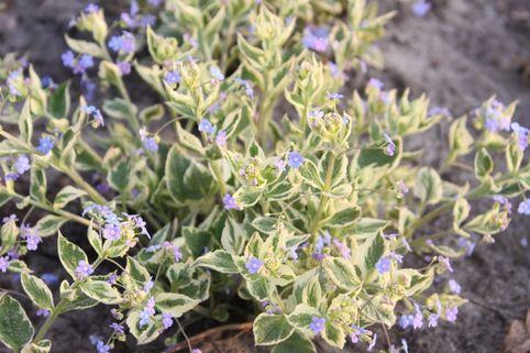 Kaukasus-Vergissmeinnicht 'Hadspen Cream' - Brunnera macrophylla 'Hadspen Cream'