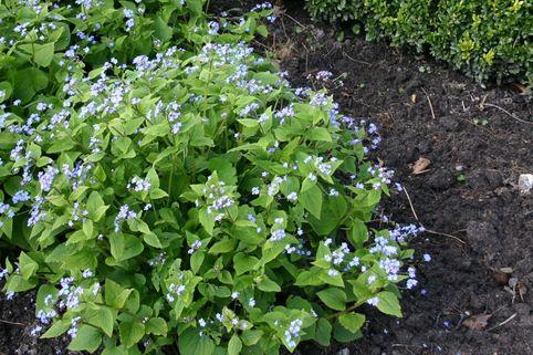 Kaukasus-Vergissmeinnicht - Brunnera macrophylla