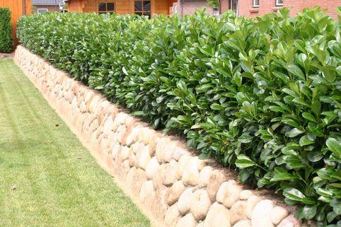 Kirschlorbeer / Lorbeerkirsche 'Etna' ® - Prunus laurocerasus 'Etna' ®
