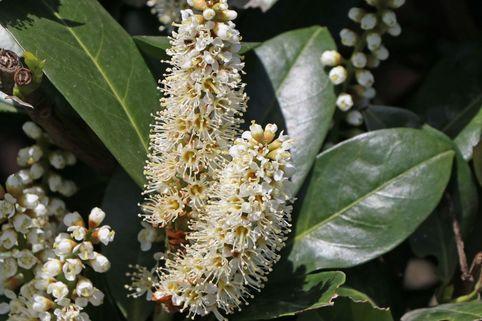 Kirschlorbeer / Lorbeerkirsche 'Mano' - Prunus laurocerasus 'Mano'