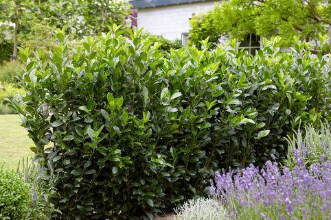 Kirschlorbeer / Lorbeerkirsche 'Obelisk' ® - Prunus laurocerasus 'Obelisk' ®