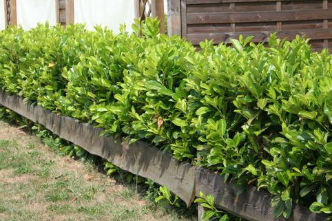 Kirschlorbeer / Lorbeerkirsche 'Rotundifolia' - Prunus laurocerasus 'Rotundifolia'