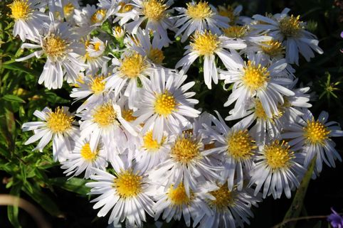 Kissen-Aster 'Apollo' - Aster dumosus 'Apollo'