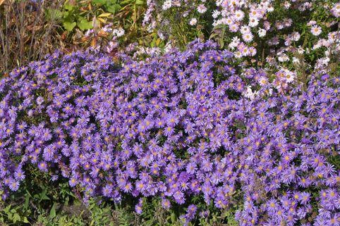 Kissen-Aster 'Blaue Lagune' - Aster dumosus 'Blaue Lagune'