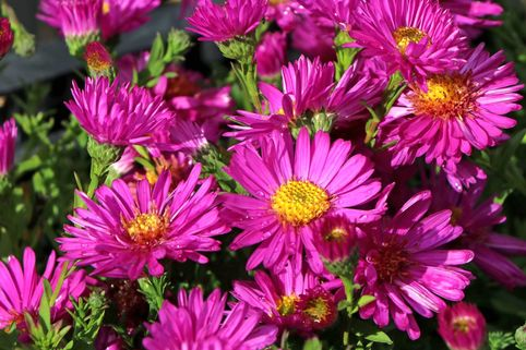 Kissen-Aster 'Starlight' - Aster dumosus 'Starlight'