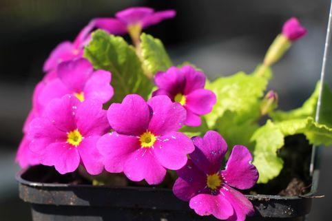 Kissen-Schlüsselblume 'Amarantrot' - Primula x pruhoniciana 'Amarantrot'