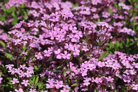 Kissen Seifenkraut - Saponaria ocymoides