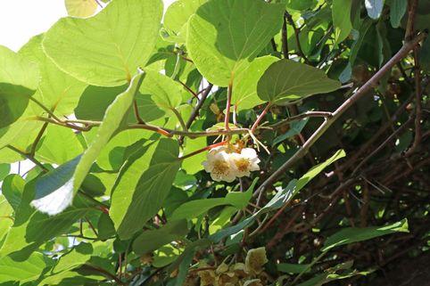 Kiwi 'Atlas' - Actinidia chinensis 'Atlas' (männlich)
