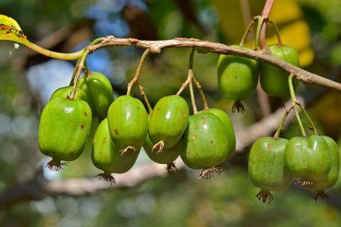 Kiwi 'Issai' - Actinidia arguta 'Issai'