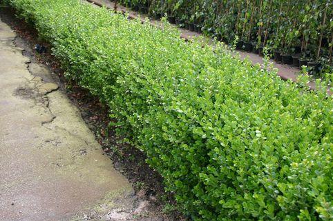 Kleinblättriger Buchsbaum 'Faulkner' - Buxus microphylla 'Faulkner'