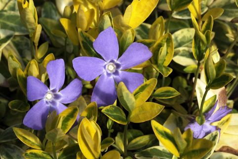 Kleinblättriges Immergrün 'Aureovariegata' - Vinca minor 'Aureovariegata'