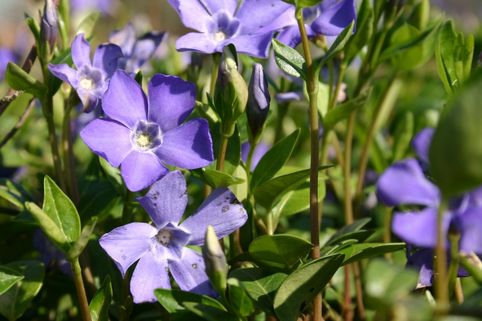 Kleinblättriges Immergrün - Vinca minor