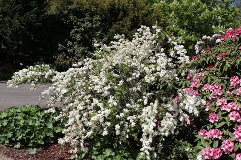 Kleine Prunkspiere 'The Bride' - Exochorda macrantha 'The Bride'
