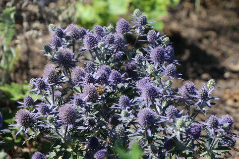 Kleiner Mannstreu 'Blauer Zwerg' - Eryngium planum 'Blauer Zwerg'