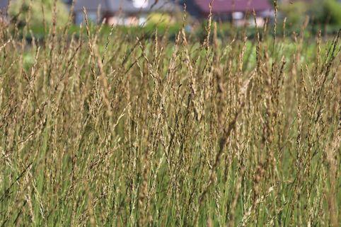 Kleines Pfeifengras 'Heidebraut' - Molinia caerulea 'Heidebraut'
