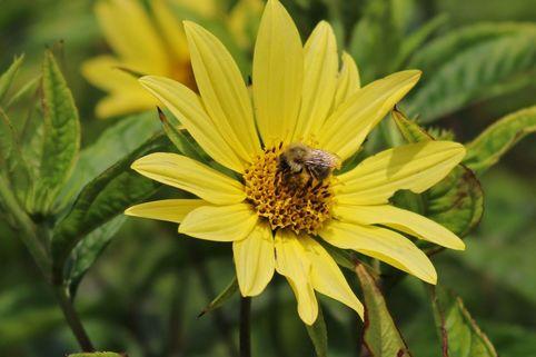 Kleinköpfige Sonnenblume 'Lemon Queen' - Helianthus microcephalus 'Lemon Queen'