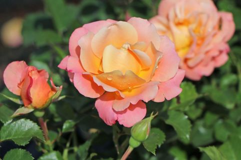 Kleinstrauchrose 'Cubana' ® - Rosa 'Cubana' ®