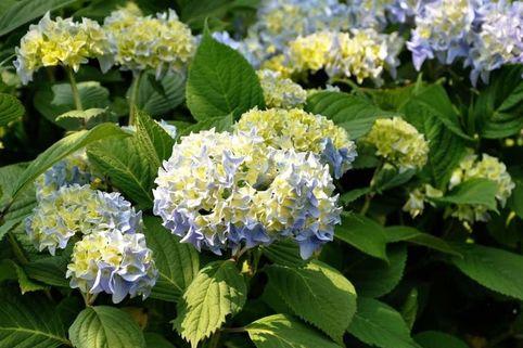Kleinwüchsige Ballhortensie 'Nikko Blue' - Hydrangea macrophylla 'Nikko Blue'