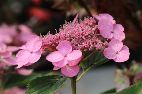 Kleinwüchsige Tellerhortensie 'Koreana' - Hydrangea serrata 'Koreana'