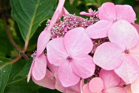 Kleinwüchsige Tellerhortensie 'Rosalba' - Hydrangea serrata 'Rosalba'