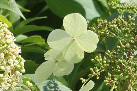 Kletterhortensie 'Semiola' ® - Hydrangea anomala 'Semiola' ®