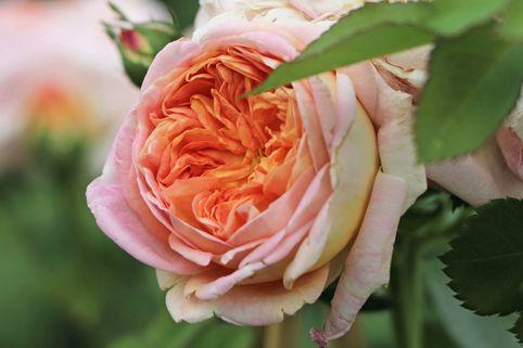Kletterrose 'Alchymist' - Rosa 'Alchymist'